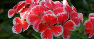 Чем подкормить герань для цветения
