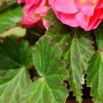 Почему у бегонии чернеют цветы