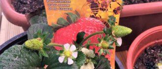 клубника из семян в домашних условиях