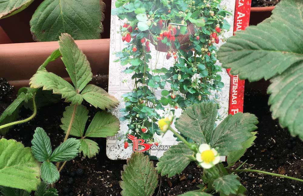 Как посадить клубнгику семенами и вырастить в горшке