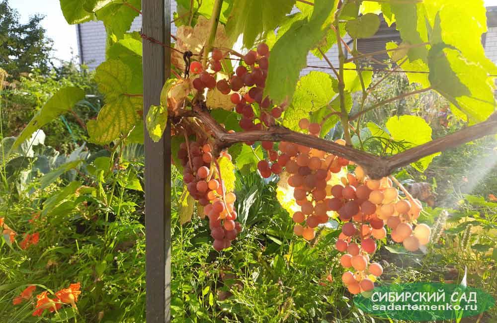 Виноград сорта Рилайнс пинк сидлис. Фото автора