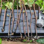 Укоренение винограда