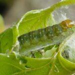 гусеница листовертки
