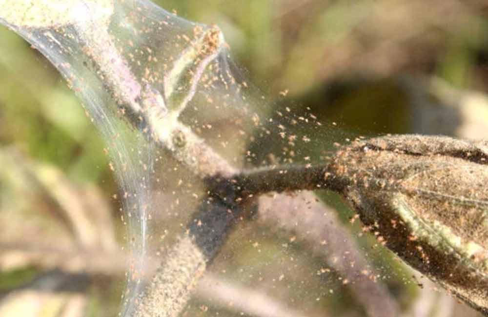 Паутинный клещ на растении