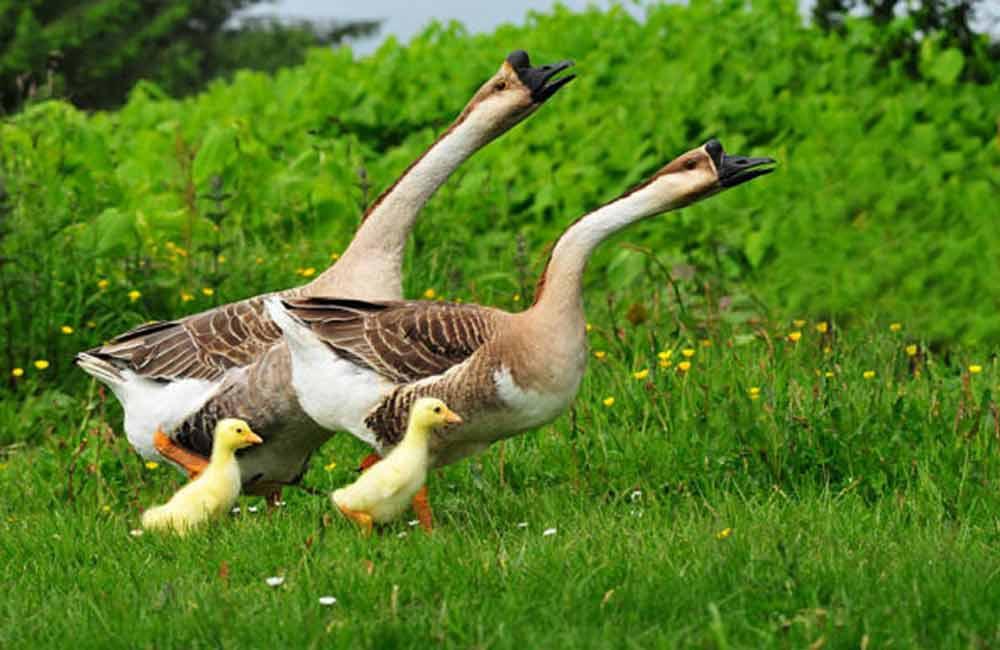 выгодно ли брать гусей на лето