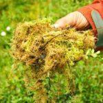 Как убрать мох на газоне