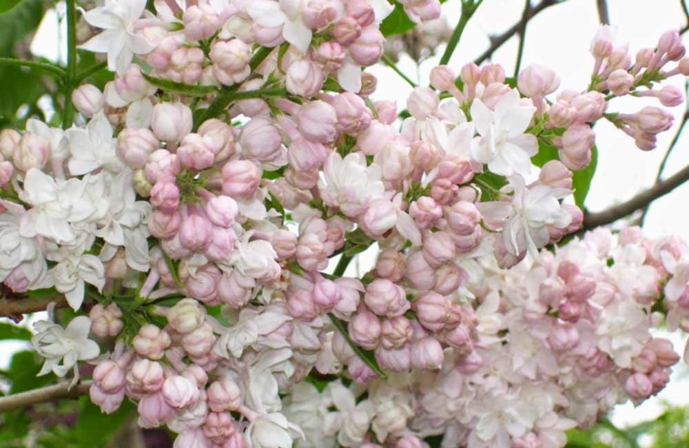 цветы кустарника