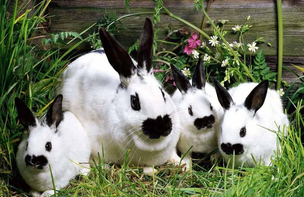 кого разводить на даче: кролики