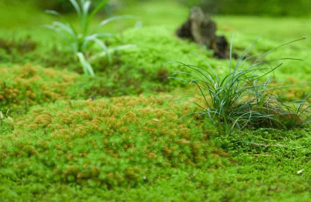 на газоне растет мох