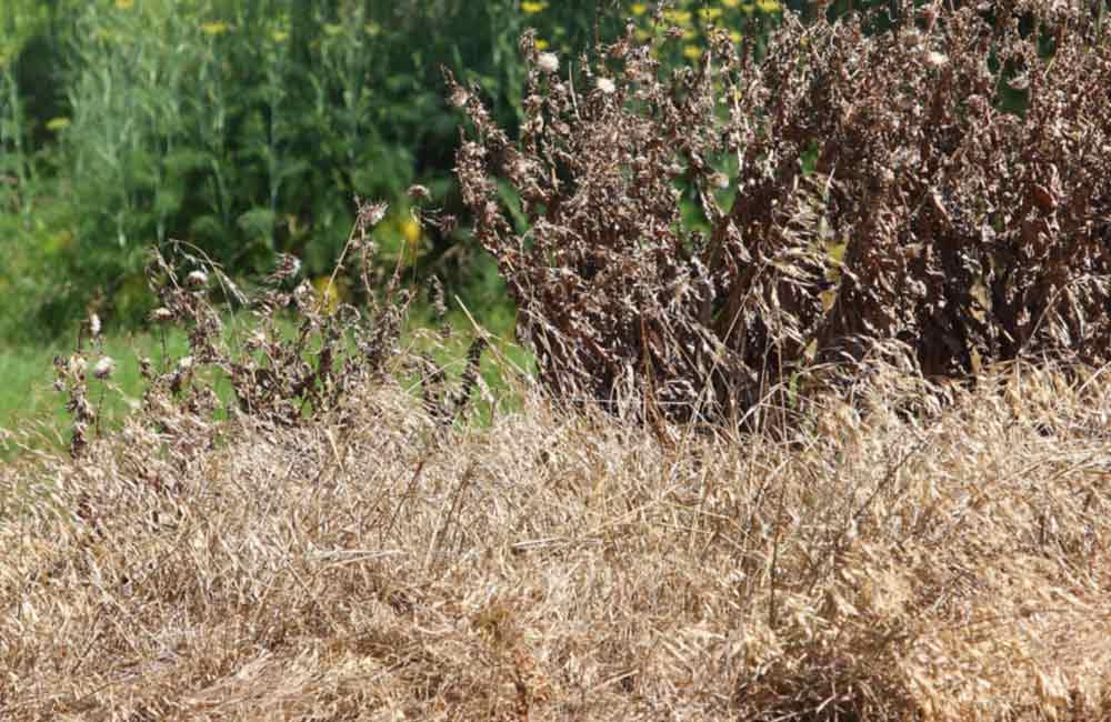 трава после обработки раундапом