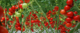 томаты без полива