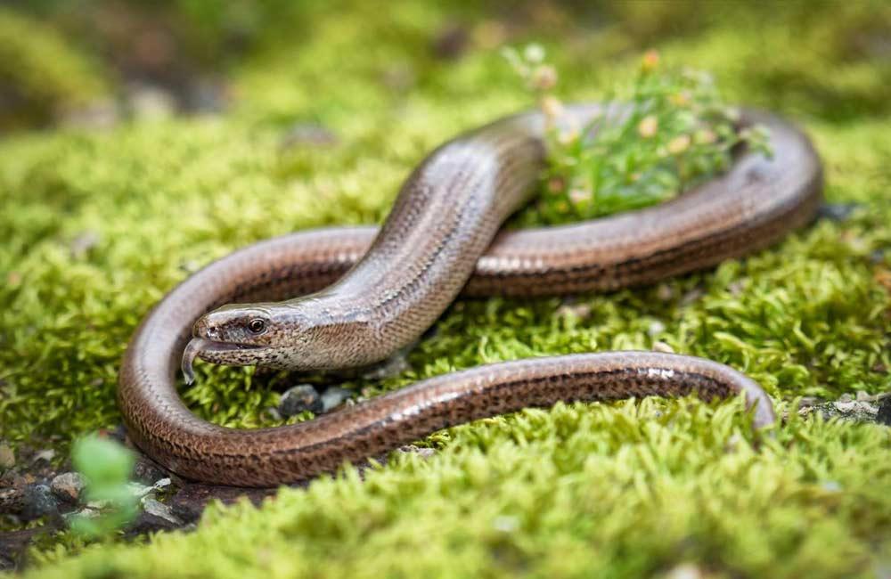 Не ядовитые змеи: веретеница ломкая