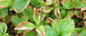 Сохнут листья у клубники