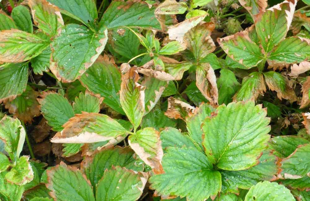 Чернеют и сохнут листья клубники по краям: причины и лечение