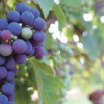 недозрелый виноград