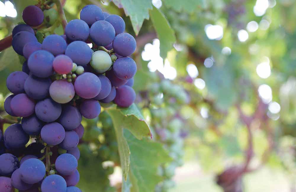 Где использовать недозрелый виноград: интересные рецепты и варианты