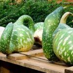 Лагенария плоды