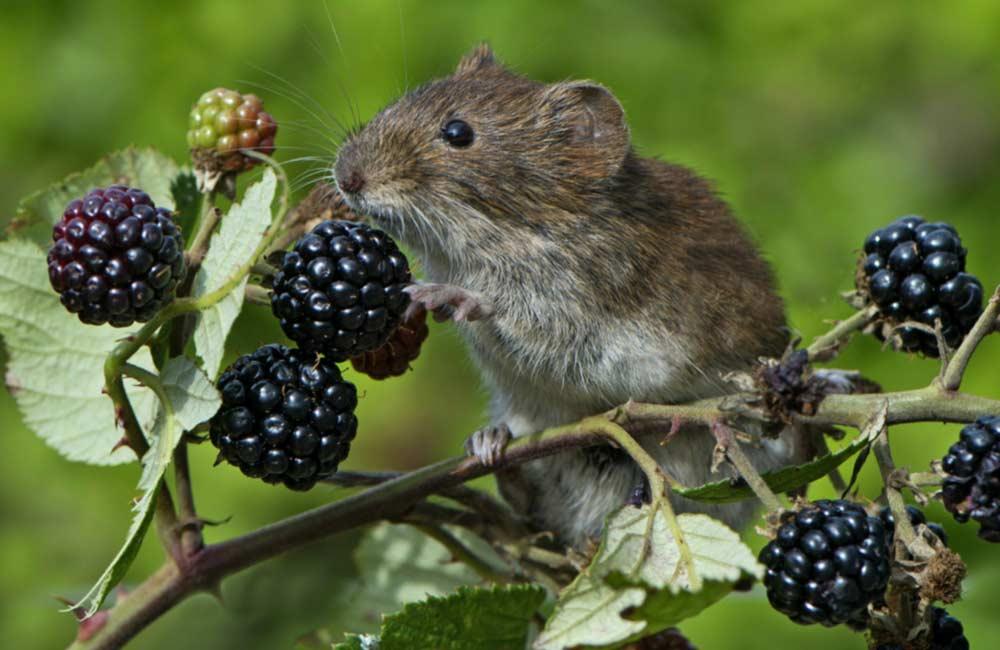 Мышь уничтожает урожай.