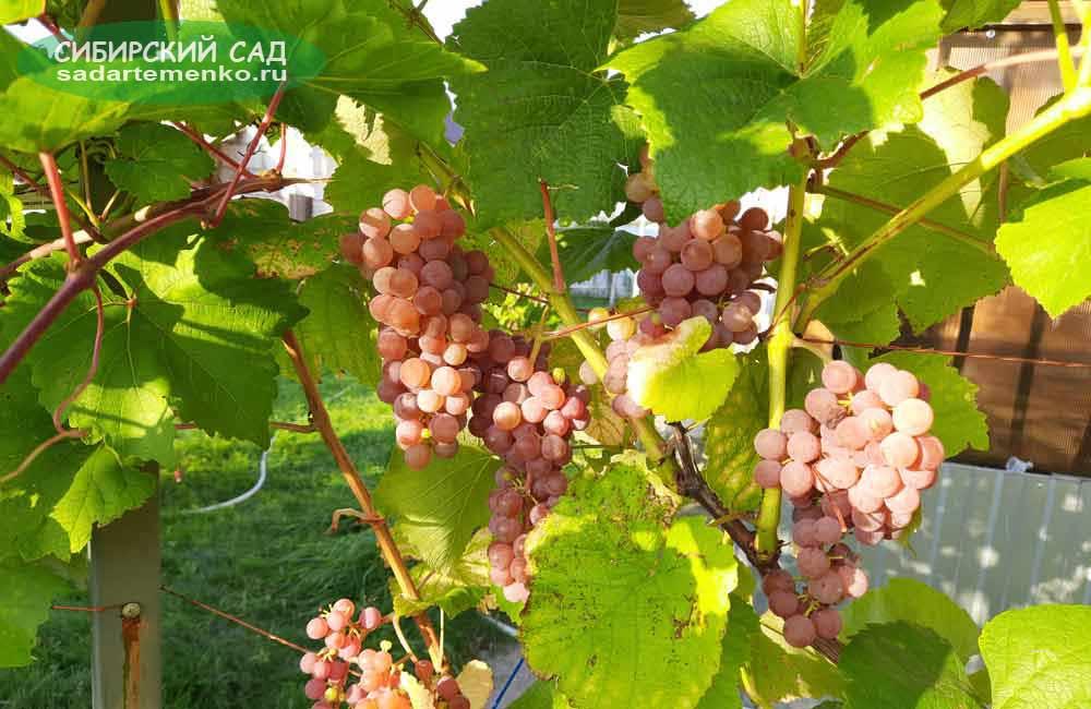 Виноград для Подмосковья: рилайнс пинк сидлис