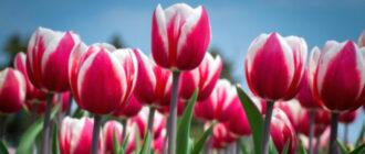 Детки тюльпанов главная