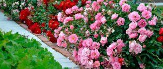 бордюр из роз