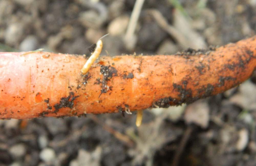 проволочник на моркови