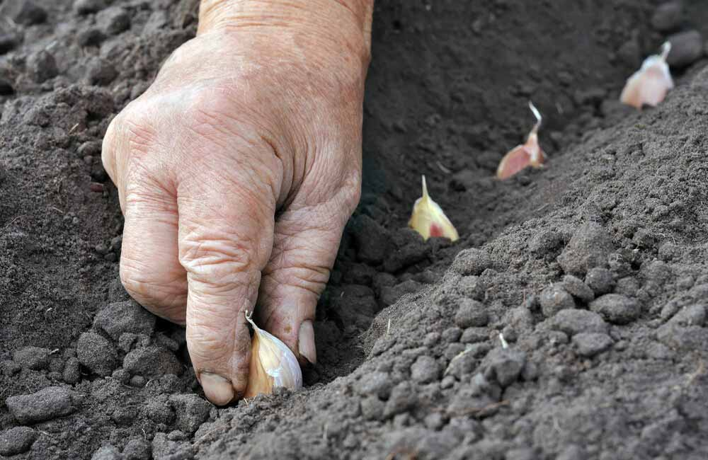 Крупный чеснок: выращивание
