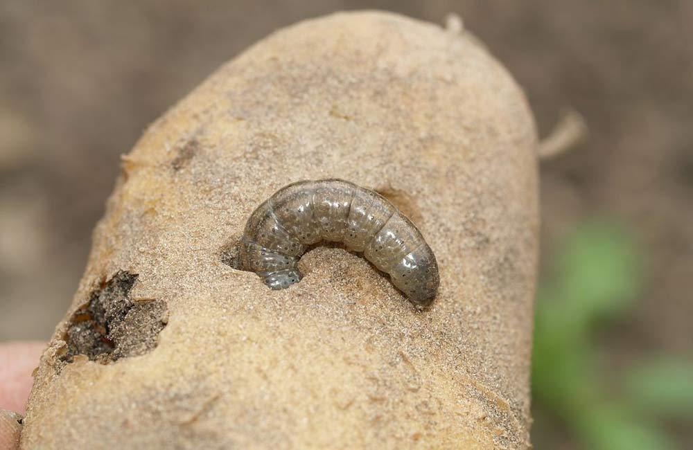 личинка совки