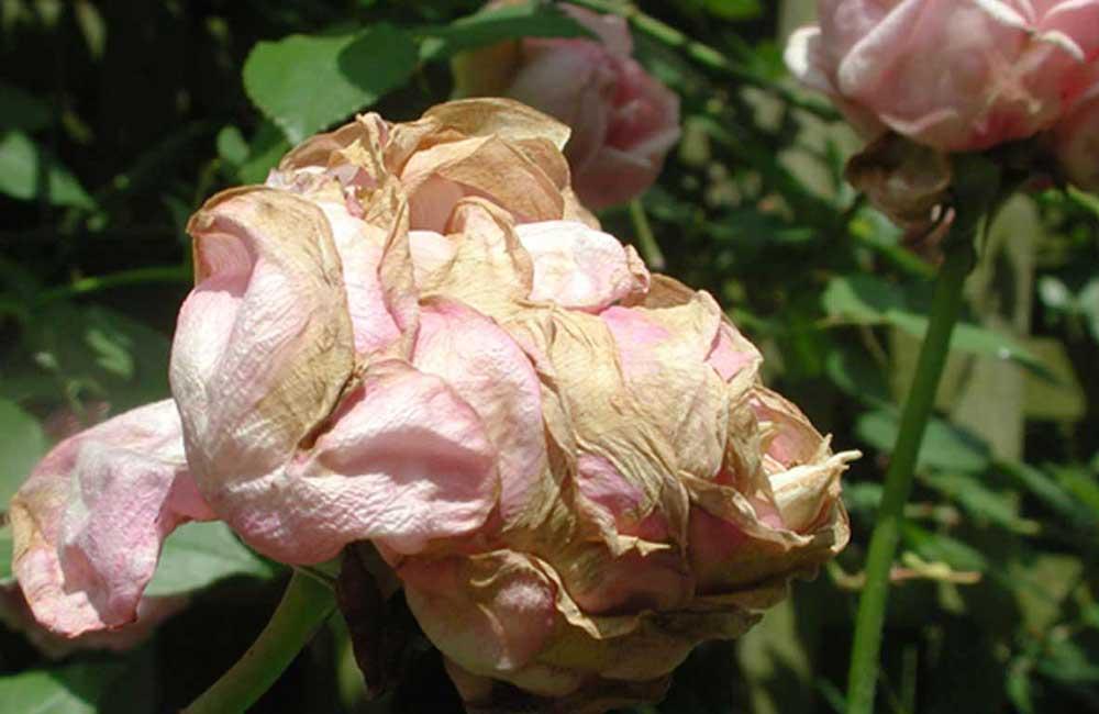Не раскрываются бутоны у роз