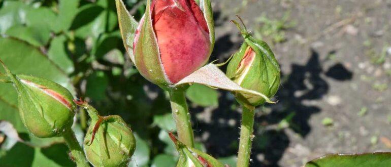 нераскрывшиеся бутоны роз