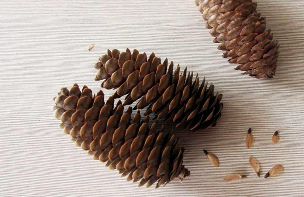 шишки и семена