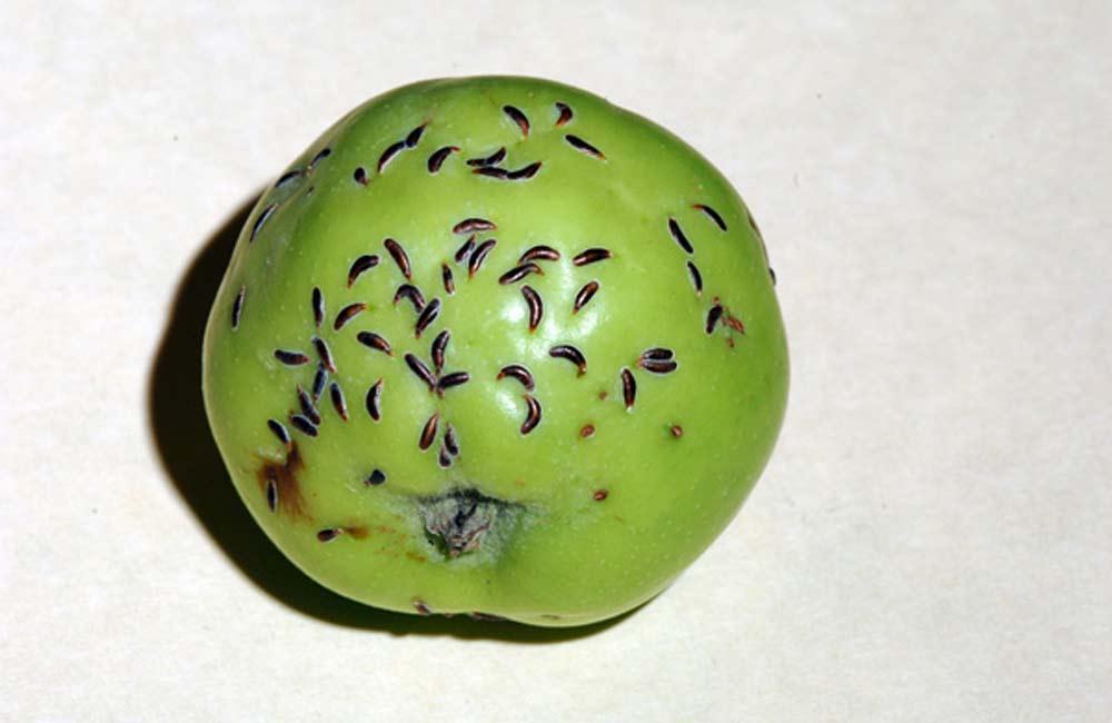 яблонная щитовка на яблоке