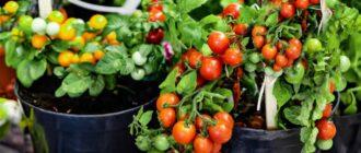 Супердетерминантные томаты