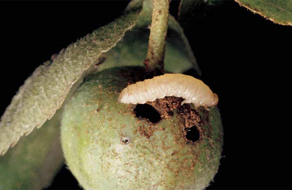 яблонный пильльщик