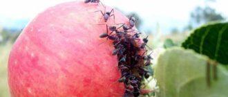 муравьи в яблоке
