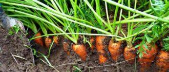 свекла и морковь под зиму