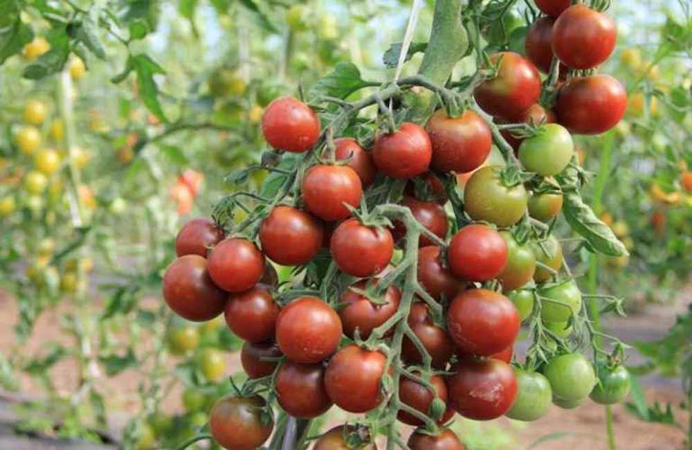 Коктейльные томаты: что это за чудо такое?