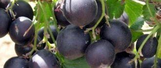 ягоды, похожие на смородину - йошта