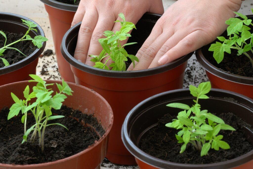 Когда сеять помидоры на рассаду сроки, правила, лунный календарь